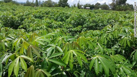 Healthy cassava field after clean plant replacement.