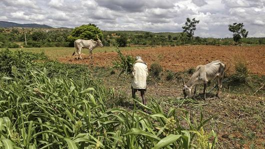 A farmer works in a millet field while cattle graze nearby on the outskirts of Bengaluru, India, on June 9, 2017.
