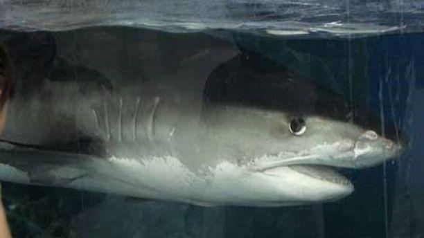tiger shark 123a
