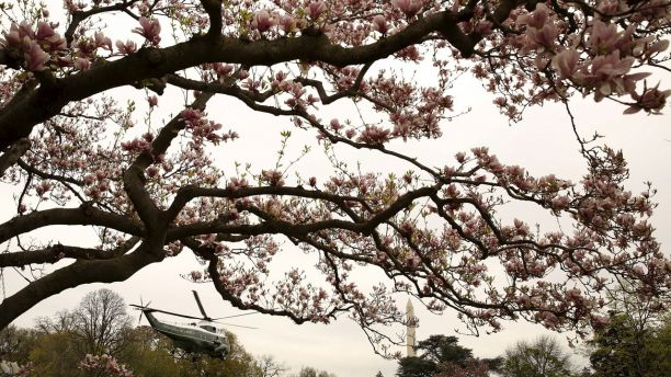 Part Of Historic Magnolia Tree Planted By President Andrew Jackson