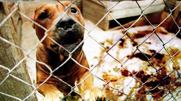 pit bull dog AP