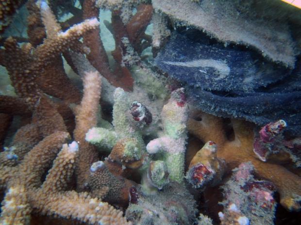 White syndrome coral disease