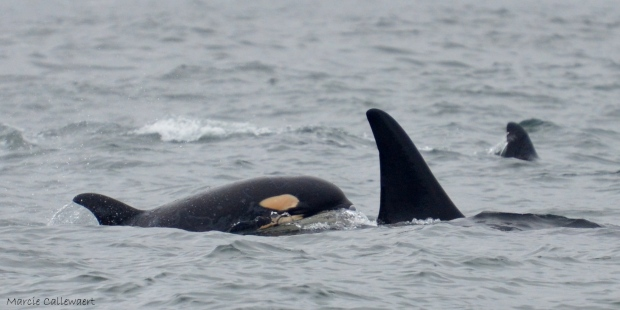 endangered southern resident orca whale calf L-121 spotted near Tofino June 2015