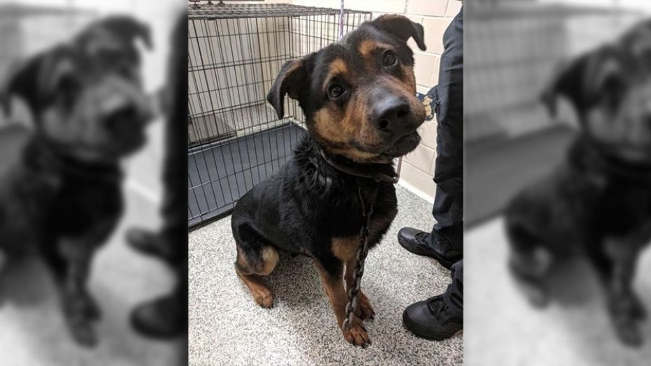 Courage, a 3-year-old German Shepherd-Rottweiler mix, was found in Detroit with a mountain climbing hook