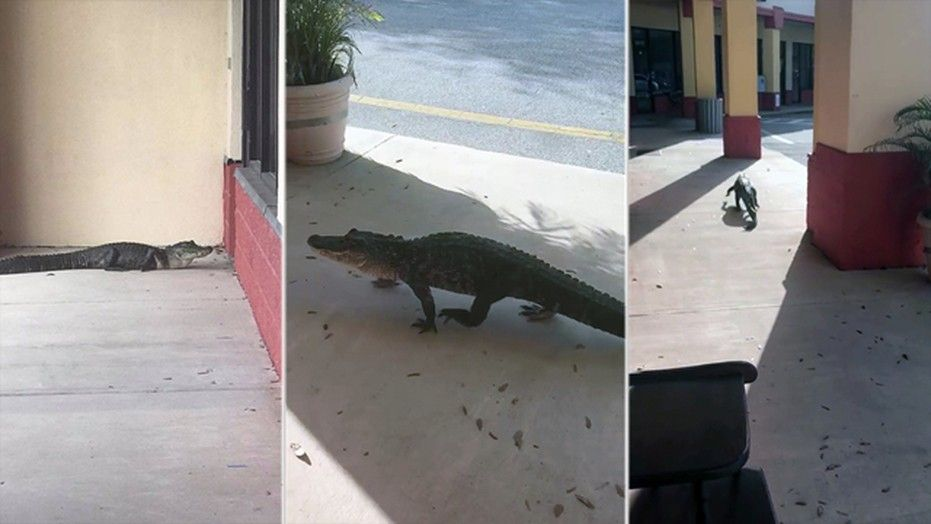 "An alligator was found doing ""window shopping"" outside the consignment antique mall Junque in the Trunk in Flagler Beach, Florida."